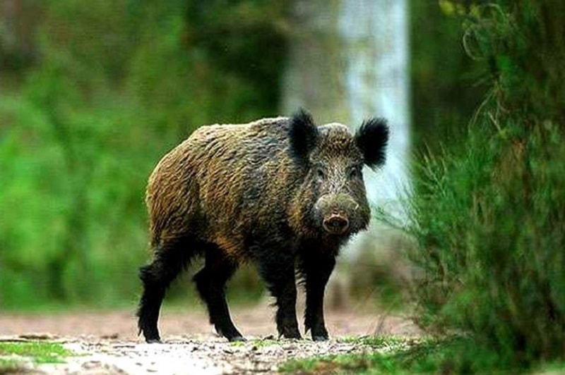 Se o Javali atravessou sua trilha... Nesse caso, o simbolismo do animal o está lembrando de que você tem procrastinado no que se refere a realizar algo.
