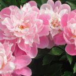 Peônia: uma flor mágica