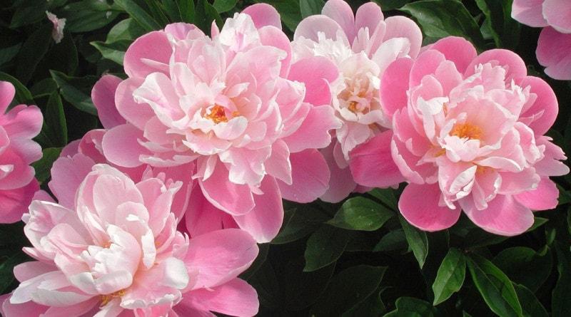 Hoje, crescer peônias no jardim da frente não é tão incomum. Mas houve tempos em que essas flores foram encontradas apenas na natureza viva.