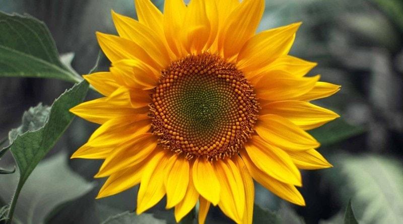 A bela planta de girassol, com suas pétalas amarelas brilhantes, é uma verdadeira festa para os olhos. Estas pétalas têm um centro cravejado de sementes,