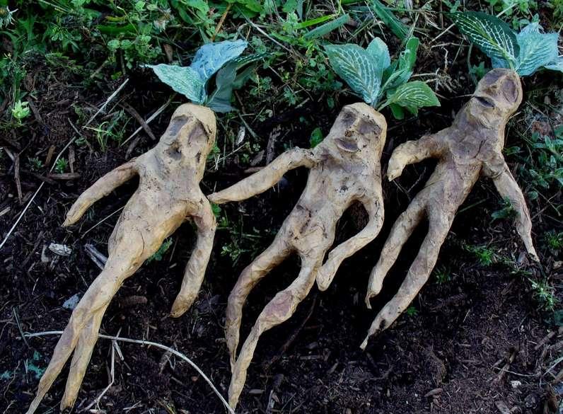 Apesar das propriedades mágicas famosas e amplamente conhecidas da mandrágora, essa planta não faz parte de flora rara e exótica.