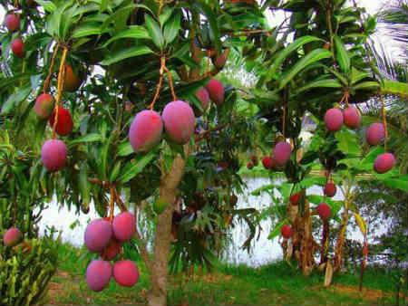 manga fruta saúde dieta