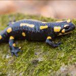 Animal Espiritual Salamandra