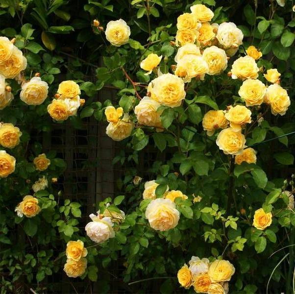 rosa magia deusas Ísis Vênus Afrodite