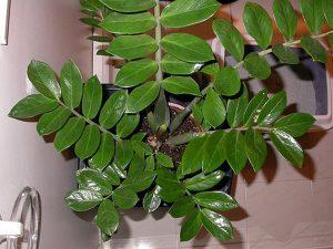 Zamioculcas planta mágica