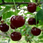 Os 7 principais benefícios e usos da cereja ácida