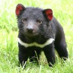 Animal Espiritual Diabo da Tasmânia