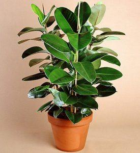 ficus planta fertilidade