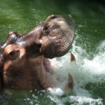 Animal Espiritual Hipopótamo