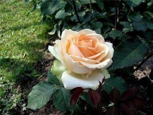 rosas chá recordação