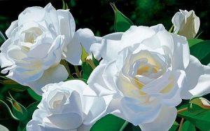 rosas brancas paz