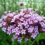 Conheça a Verbena officinalis