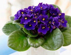 planta mágica violeta harmonia
