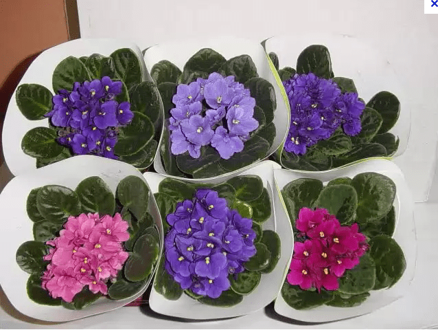 violetas coloridas mudas casa plantio