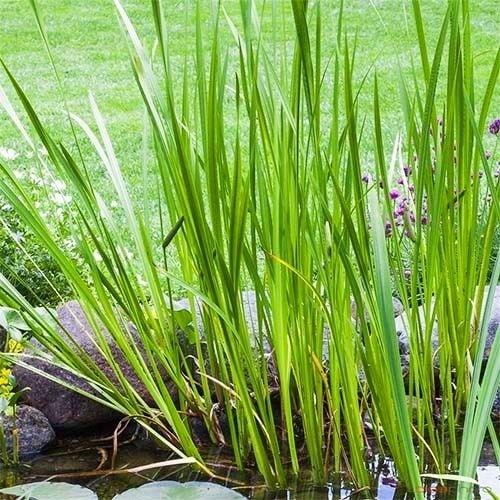 plantas Calamus Açoro proteção vitalidade