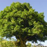 Óleo essencial da árvore do chá -Melaleuca