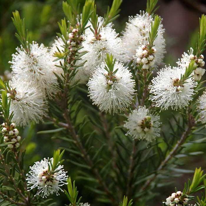 Óleo essencial da árvore do chá -Melaleuca - Viver Natural