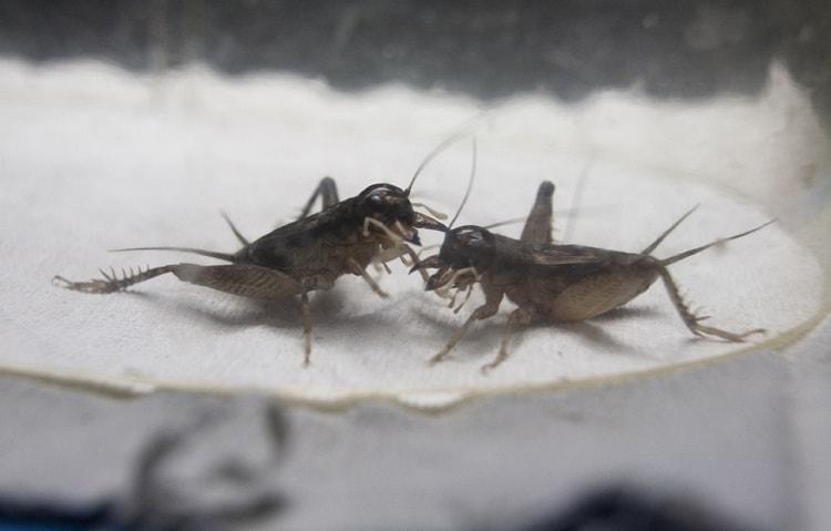grilos luta ciência saciedade inseto pesquisa