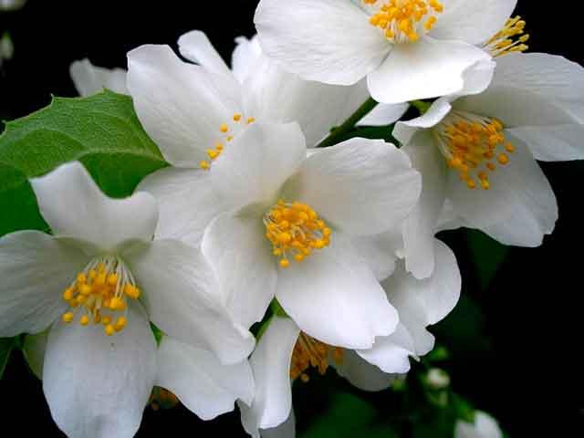 Óleo essencial de jasmim saúde beleza