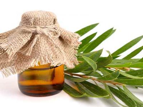 Óleo essencial da árvore do chá Melaleuca saúde