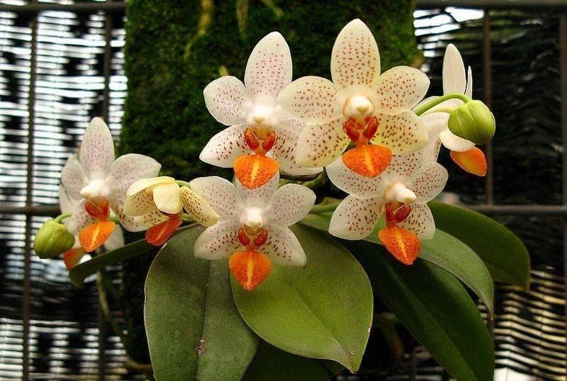 orquídeas magia deusa