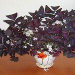 Oxalis: como cuidar da flor da felicidade e do amor