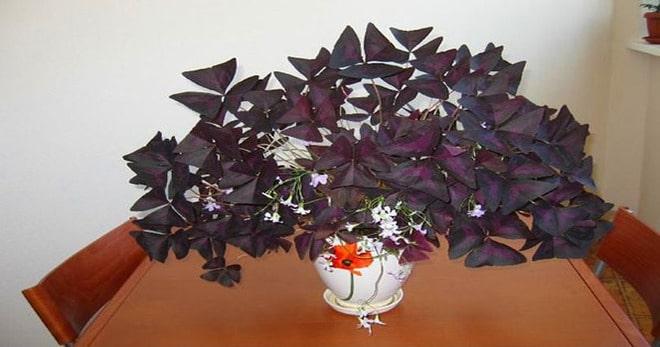 oxalis planta felicidade
