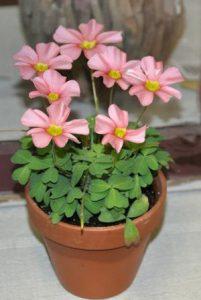 oxalis felicidade amor planta