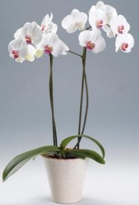 phalaenopsis orquídeas