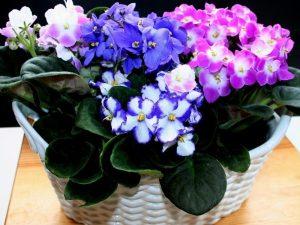 violetas alegria bem estar