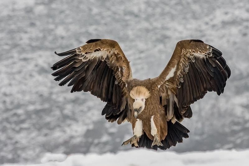 abutre animal poder totem espirito xamanismo