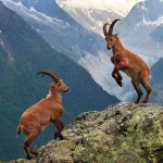 Animal Espiritual Cabra-Montanhesa