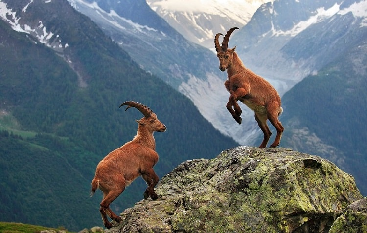 Animal Espiritual Cabra-Montanhesa totem xamanismo
