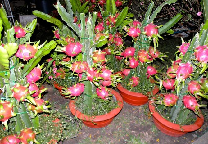pitaya saúde vitamina câncer coração