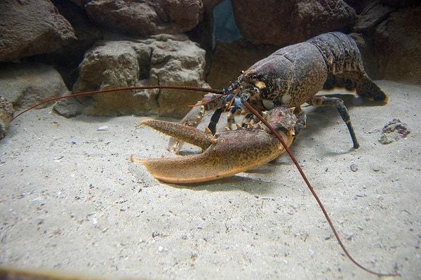 lagosta totem animal poder espiritual