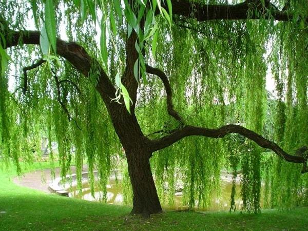 salgueiro magia mulheres árvore poder justiça
