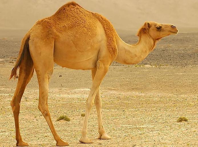 totem xamanismo animal de poder camelo