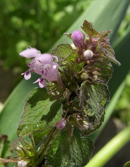 erva-cidreira Melissa óleo essencial aromaterapia saúde cabelos pele
