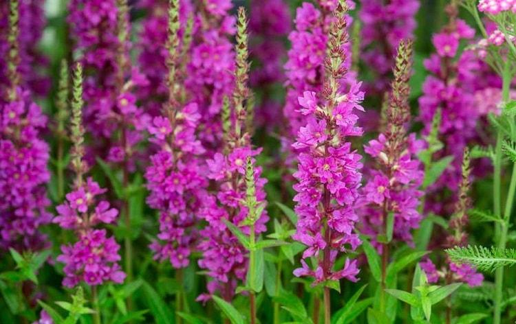 erva-carapau salgueirinha, saúde, proteção, magia