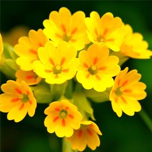 óleo de prímula óleo essencial aromaterapia saúde corpo pele varizes pressão