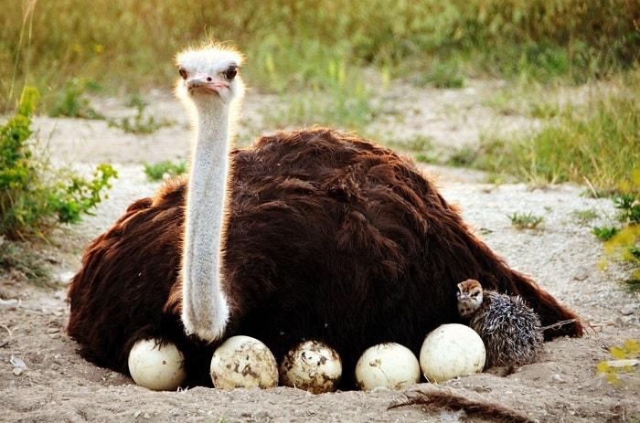 avestruz totem animal de poder xamanismo guia espiritual