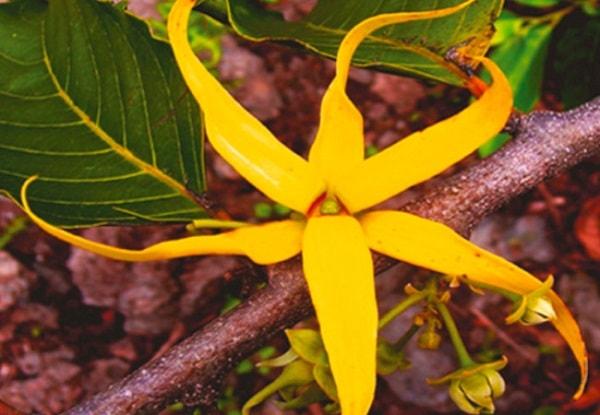 Óleo essencial de ylang-ylang saúde aromaterapia pele rosro corpo