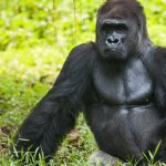 Animal Espiritual Gorila