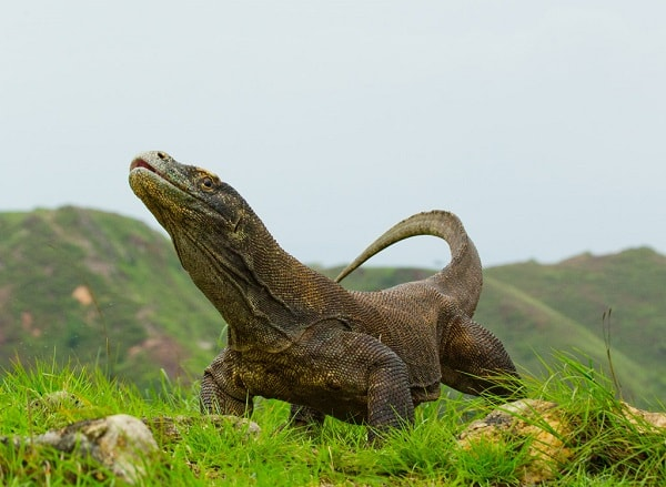 Dragão de Komodo xamanismo totem animal de poder