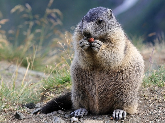 marmota totem xamanismo animal poder
