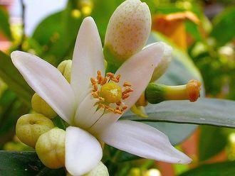 Óleo essencial Neroli aromaterapia saúde pele pressão alta