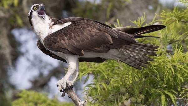 Águia-Pesqueira Águia pescadora xamanismo totem animal de poder