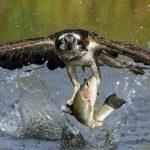 Animal Espiritual Águia-Pesqueira