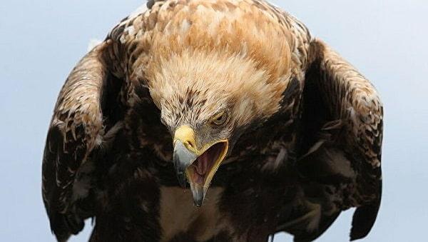 Águia-Real totem animal poder xamanismo