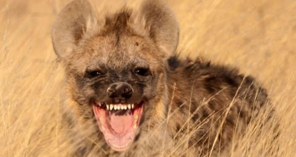 Animal Espiritual Hiena totem xamanismo